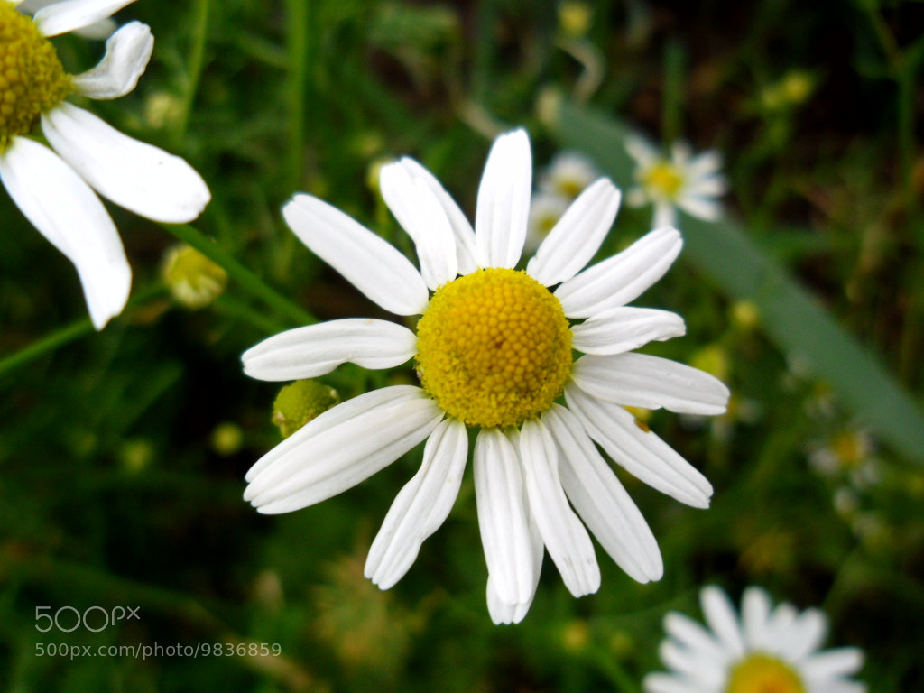 Photograph Daisy by Laura Scott on 500px