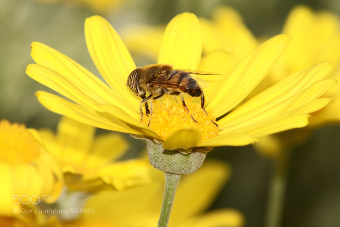 Photograph Hover Fly On Yellow Flower. by Johannes Christoffel Meintjes on 500px