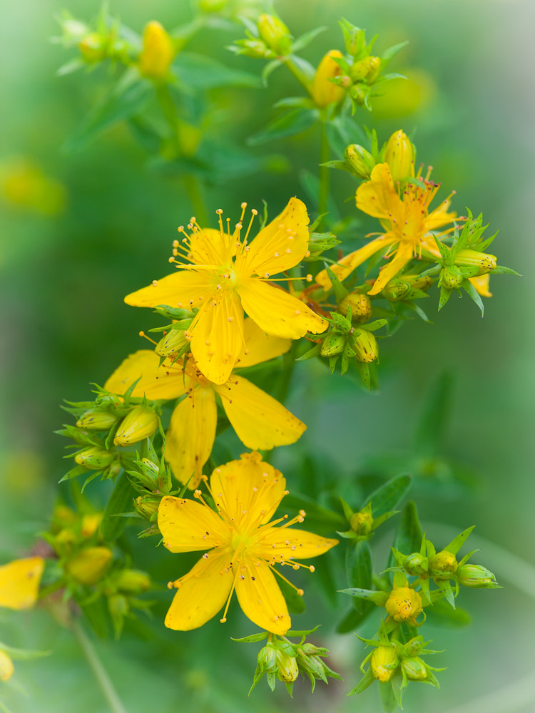 Photograph Hypericum by Richard Loader on 500px
