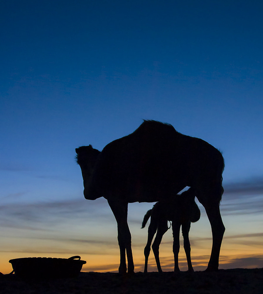 Photograph Camels by Juan Espino on 500px