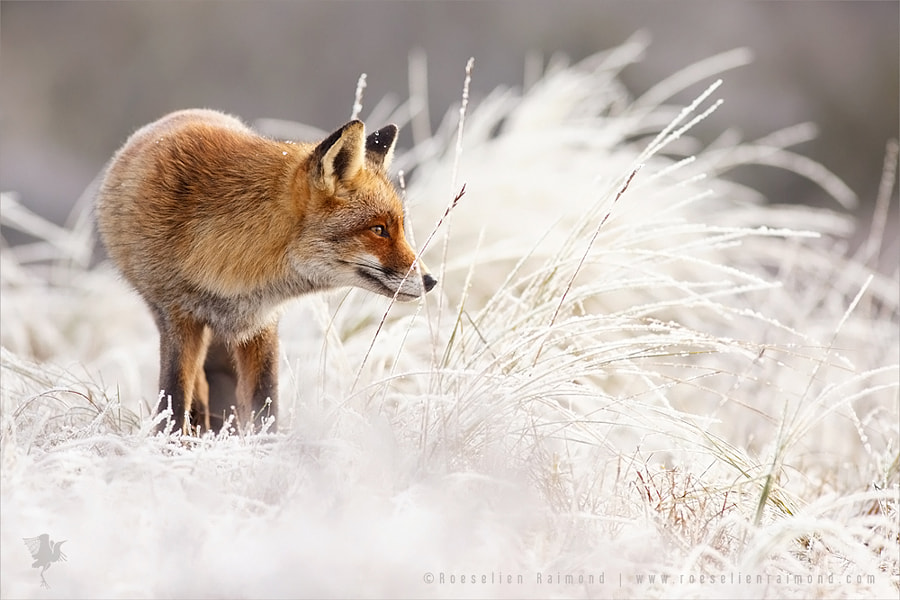 Photograph Red Fox, White World by Roeselien Raimond on 500px