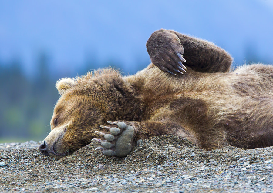 Photograph Sleeping bear by Erlend Krumsvik on 500px