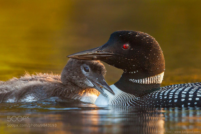 Photograph A Tender Moment by Kari Post on 500px