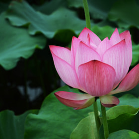 Lotus by Riven Jong (rivenjong)) on 500px.com