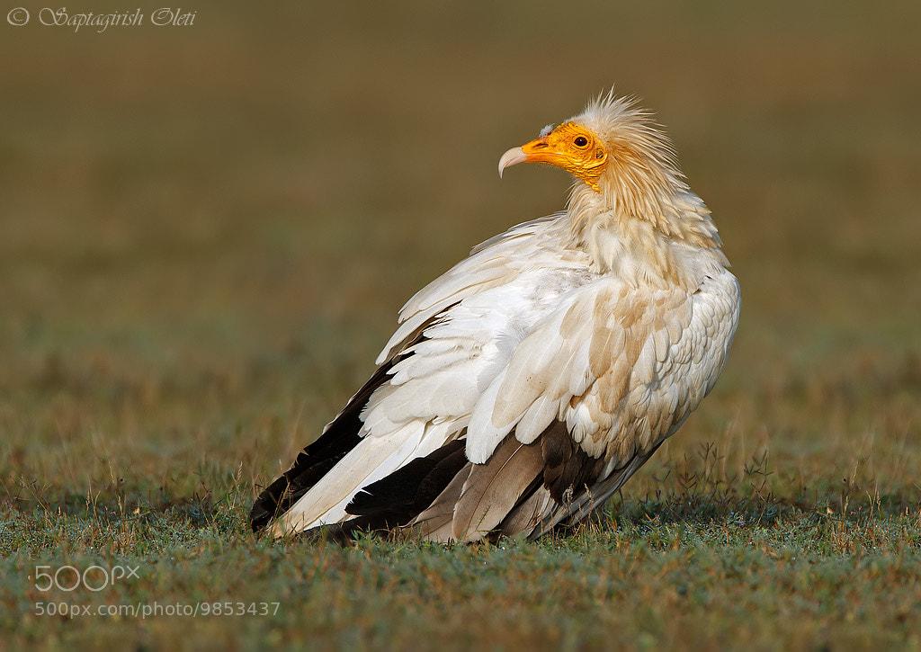 Photograph Egyptian Vulture by Saptagirish Oleti on 500px