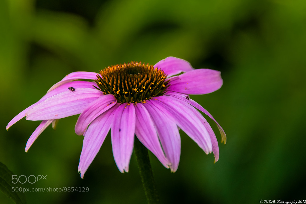 Photograph Purple Cone Flower by Harold Begun on 500px