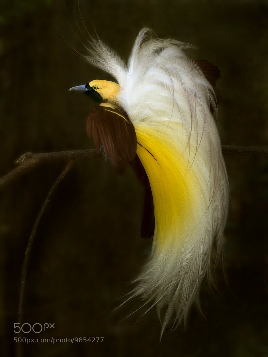 Photograph - - Lesser Bird of Paradise - - by SIJANTO NATURE on 500px
