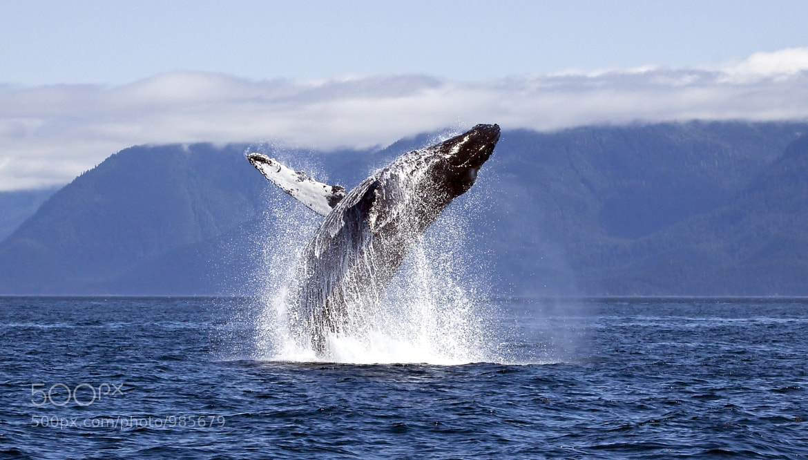Photograph Humpback Breach by Coy  Aune on 500px