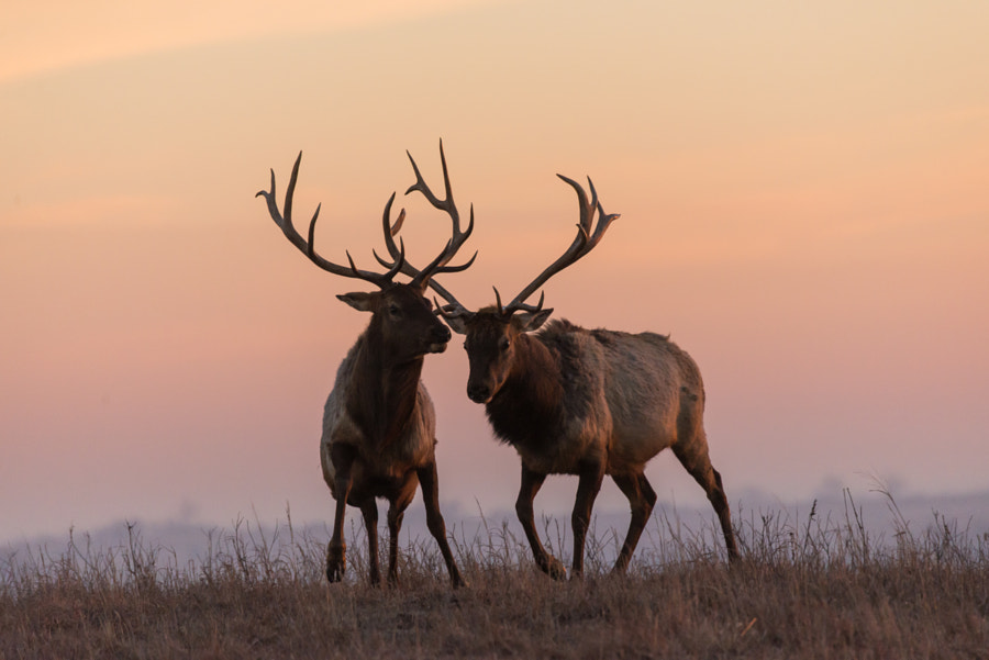 Elk at Sunrise de Paul Douglas en 500px.com