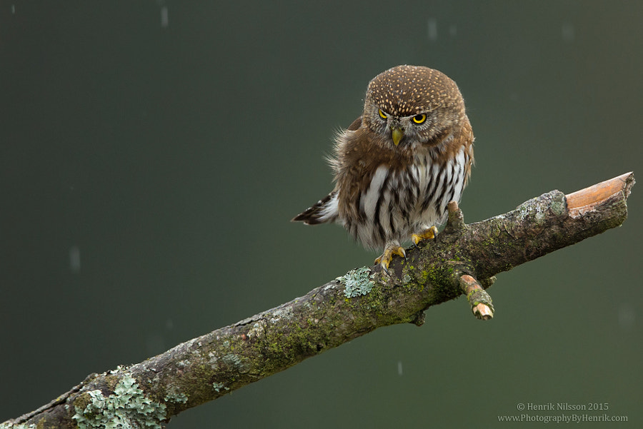 Hunting in the Rain by Henrik Nilsson on 500px