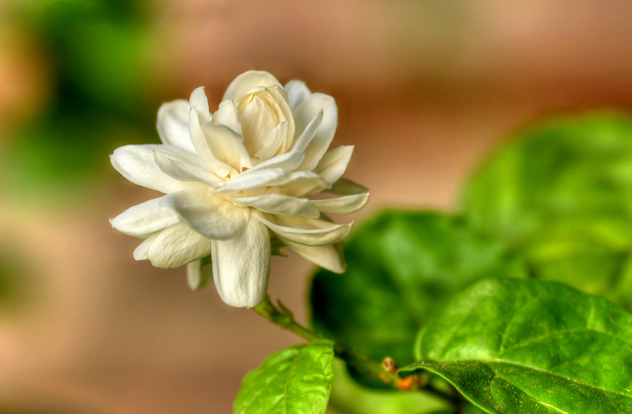 Photograph Arabian Jasmine. by Mosaddeque Rahman on 500px