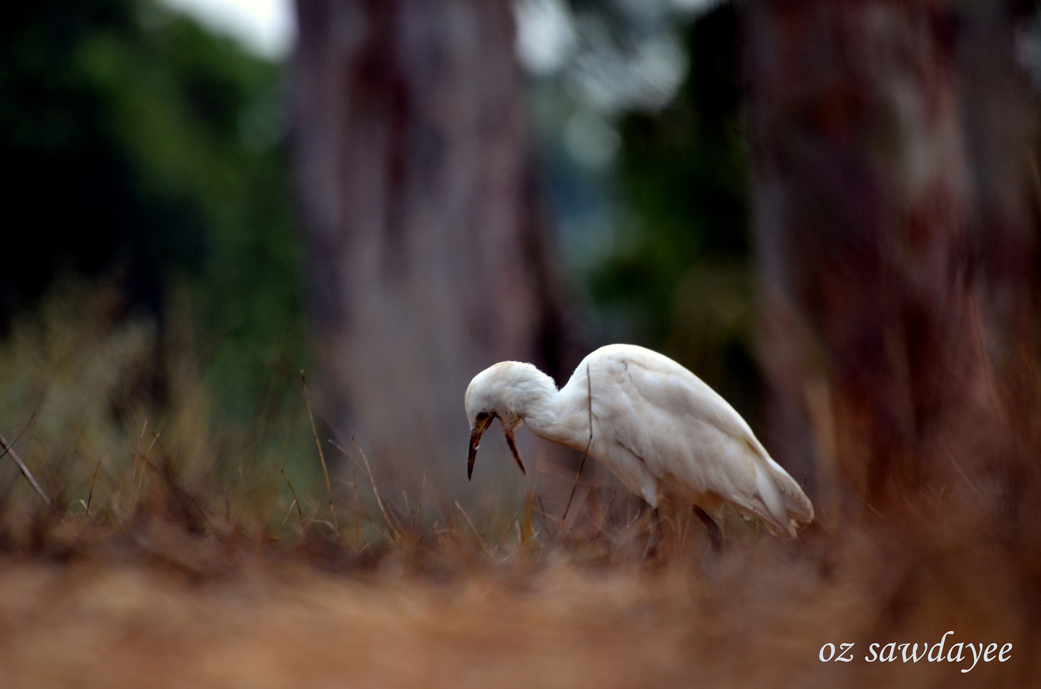 Photograph Cattle Egret by Oz Sawdayee on 500px