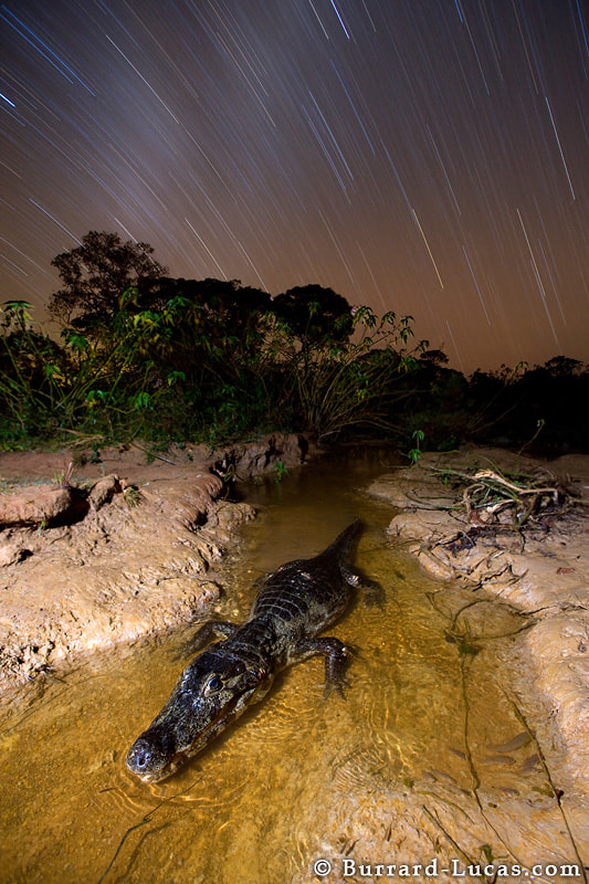 Photograph Caiman at Night by Will Burrard-Lucas on 500px