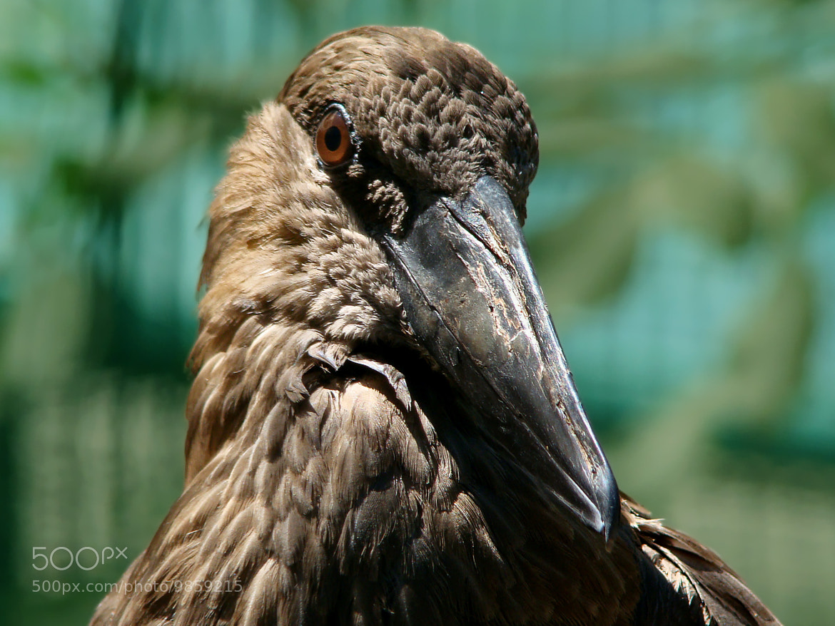 Photograph The Hamerkop by Carla Brito Ribeiro on 500px