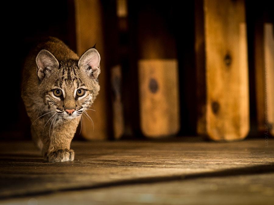 Stalking Baby Bobcat