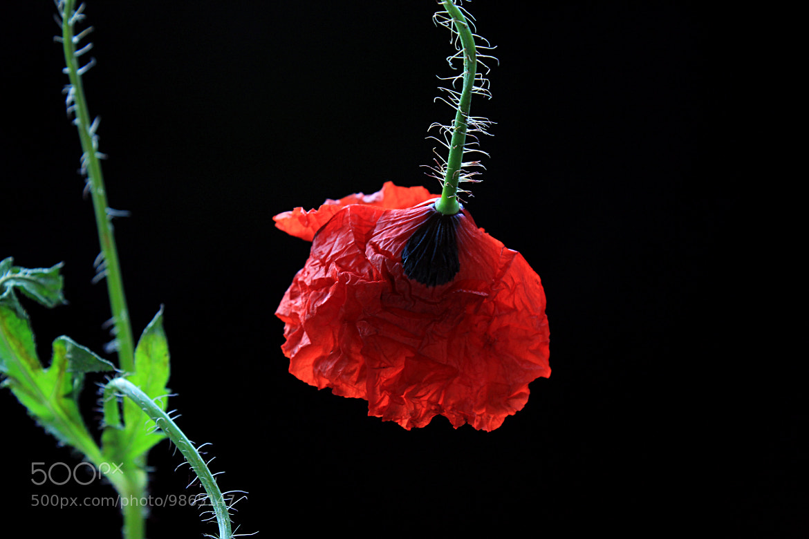 Photograph Poppy by Vendenis   on 500px