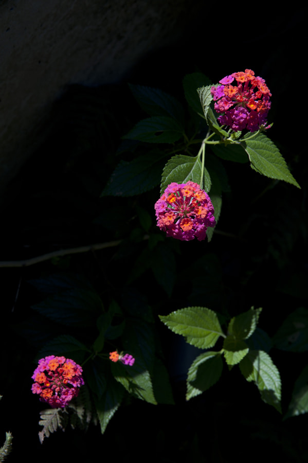 Photograph Common Lantana by taya liu on 500px