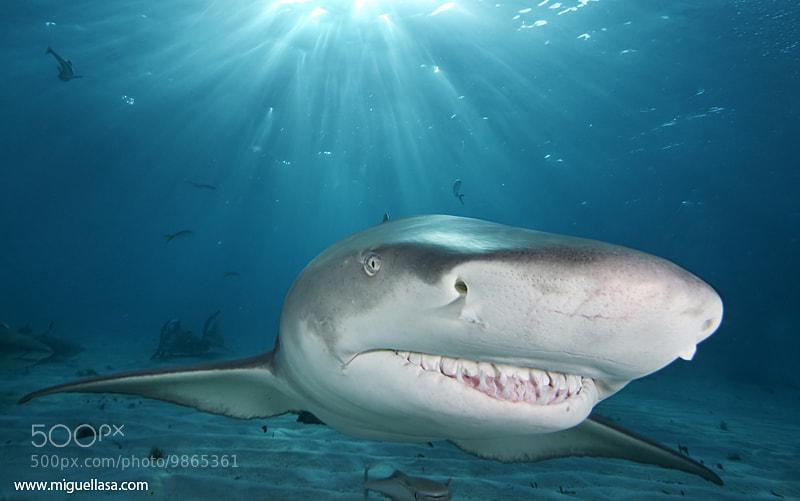 Photograph Bahamas shark by Miguel Lasa on 500px