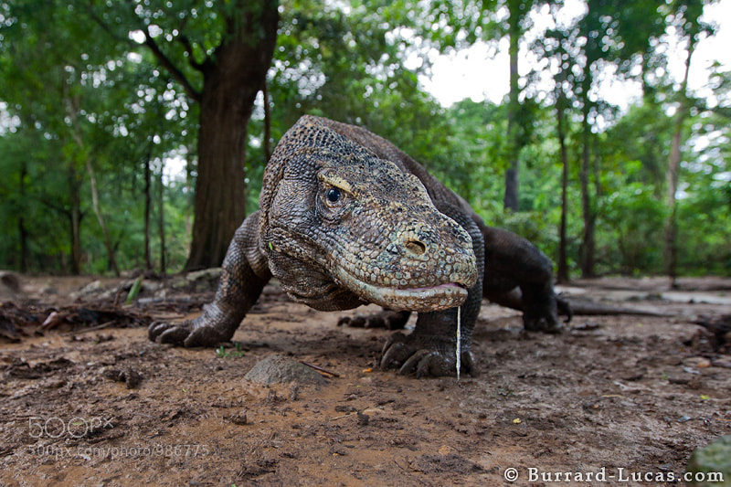 Photograph Komodo Dragon by Will Burrard-Lucas on 500px