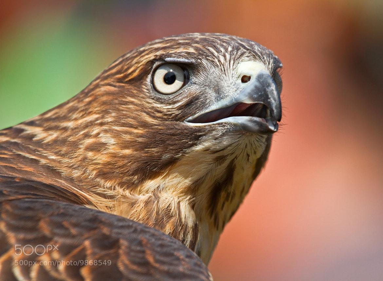 Photograph Hawk by Lorraine Hudgins on 500px