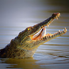 Постер, плакат: Nile crocodile swollowing fish