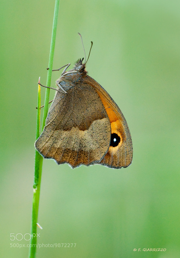 Photograph Meadow brown by Fabio Giarrizzo on 500px
