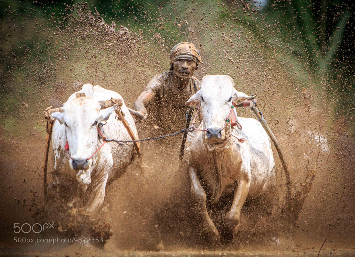 Photograph Cow Race by Dino Bramanto on 500px
