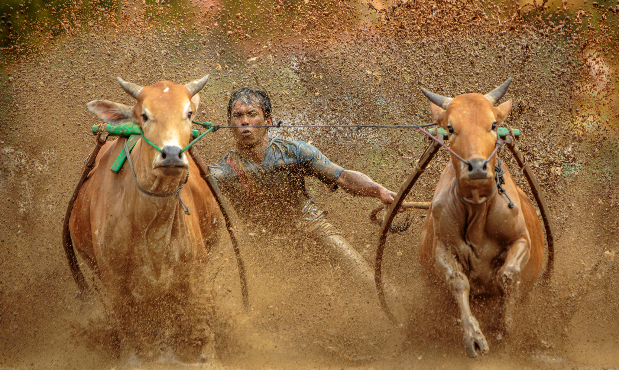 Photograph Cow Race 2 by Dino Bramanto on 500px
