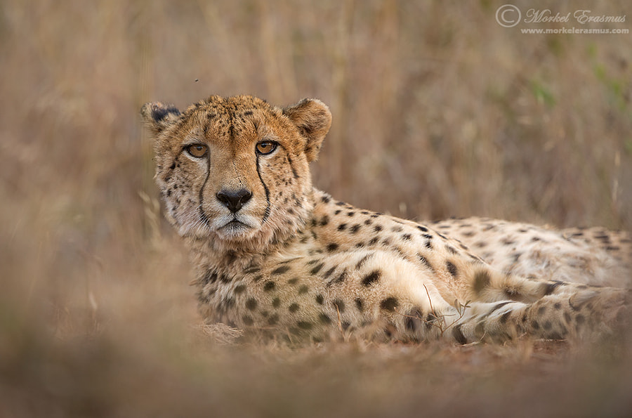 Photograph Lying with a Cheetah by Morkel Erasmus on 500px