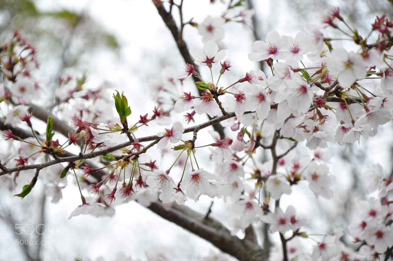 Photograph Sakura  by Alexsandre Akiyama on 500px