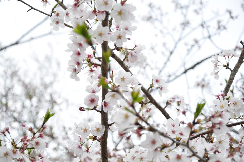 Photograph Sakura 2 by Alexsandre Akiyama on 500px