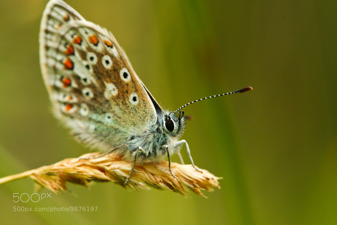 Photograph Common Blue by Cain Scrimgeour on 500px