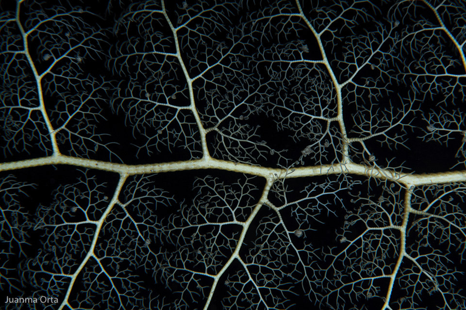 Photograph Brittlestar abstraction by Juanma Orta on 500px