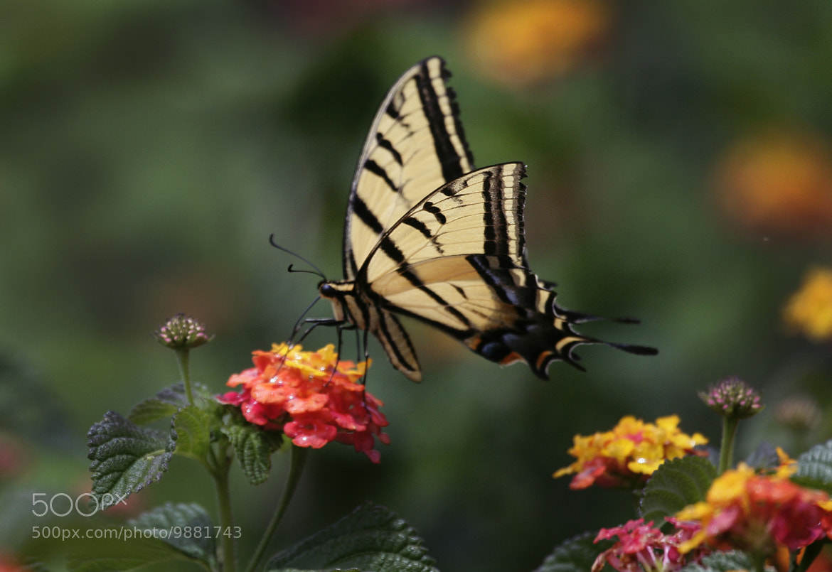 Photograph Great emperor over the flower by Cristobal Garciaferro Rubio on 500px
