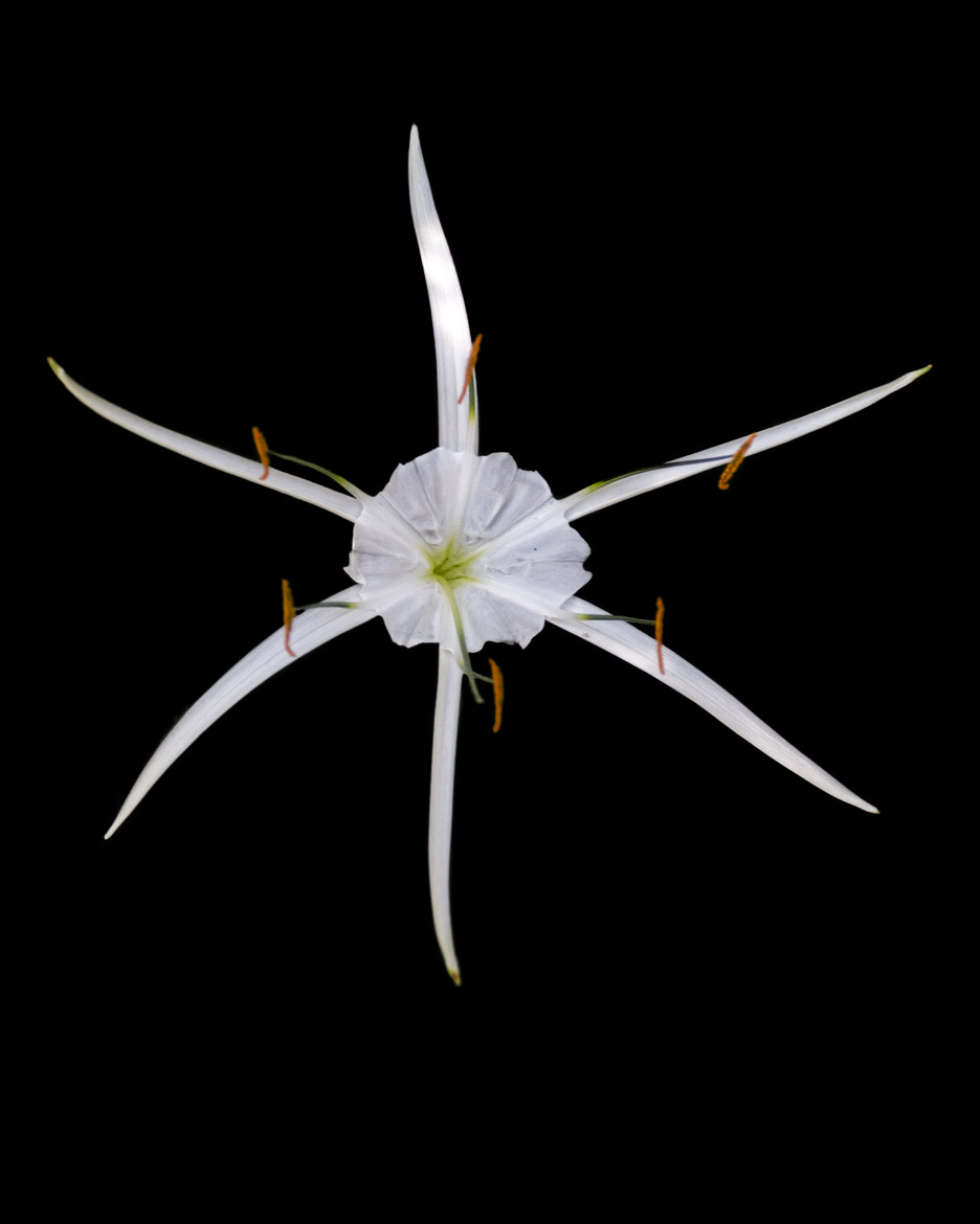 Photograph SPIDER LILLY by John Mead on 500px