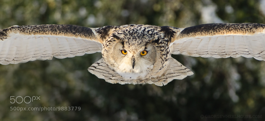 Photograph Eagle Owl - Head On by George Wheelhouse on 500px