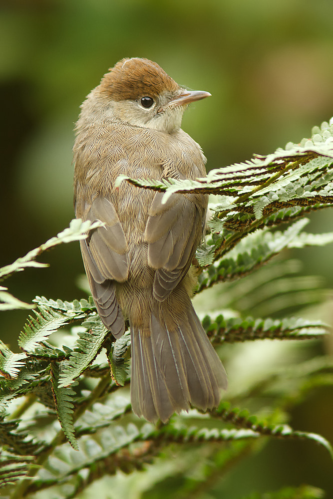 Photograph Blackcap by Tom  Kruissink on 500px