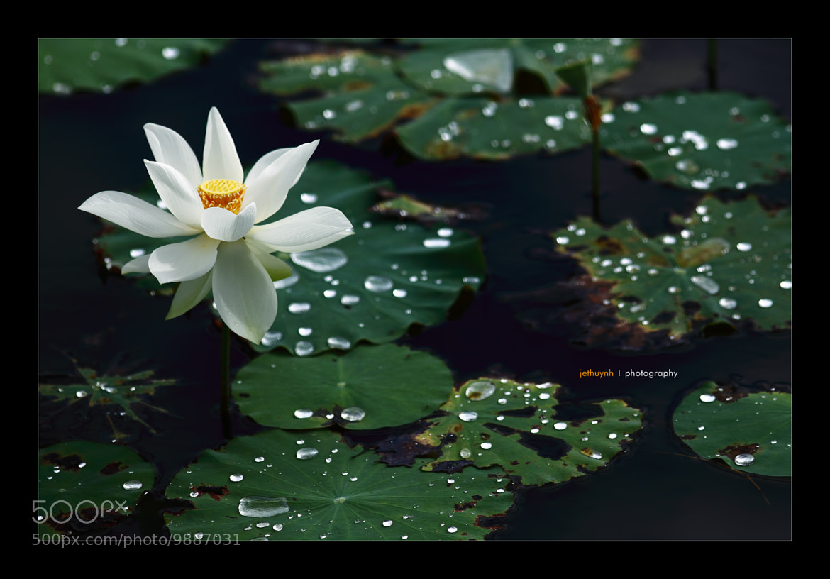 Photograph White Lotus by Jet Huynh on 500px