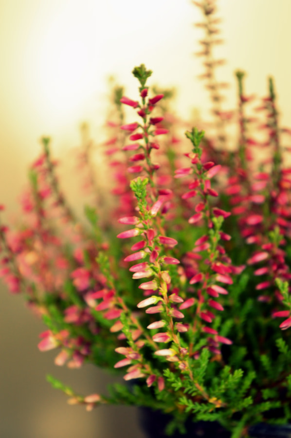 Photograph Purple Heather [calluna vulgaris] by Papanikolaou Joanna on 500px