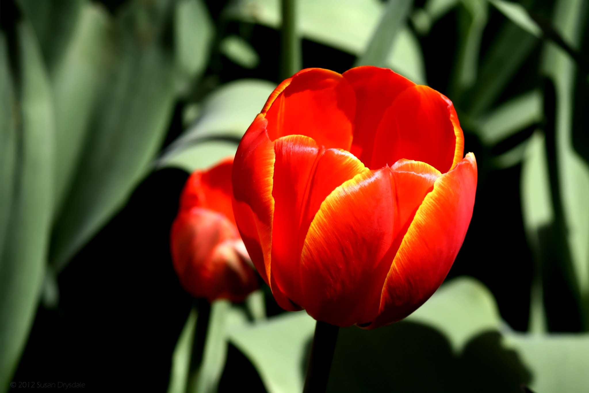 Photograph Single Red Tulip by Susan Drysdale on 500px