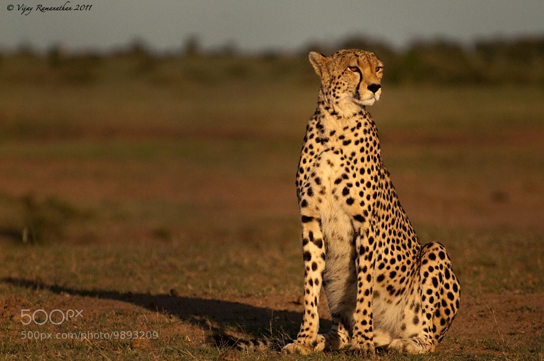 Photograph Morning Light - Cheetah by Vijay Ramanathan on 500px
