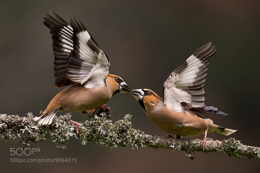 Fighting hawfinches part II by Edwin Kats (EdwinKats) on 500px.com