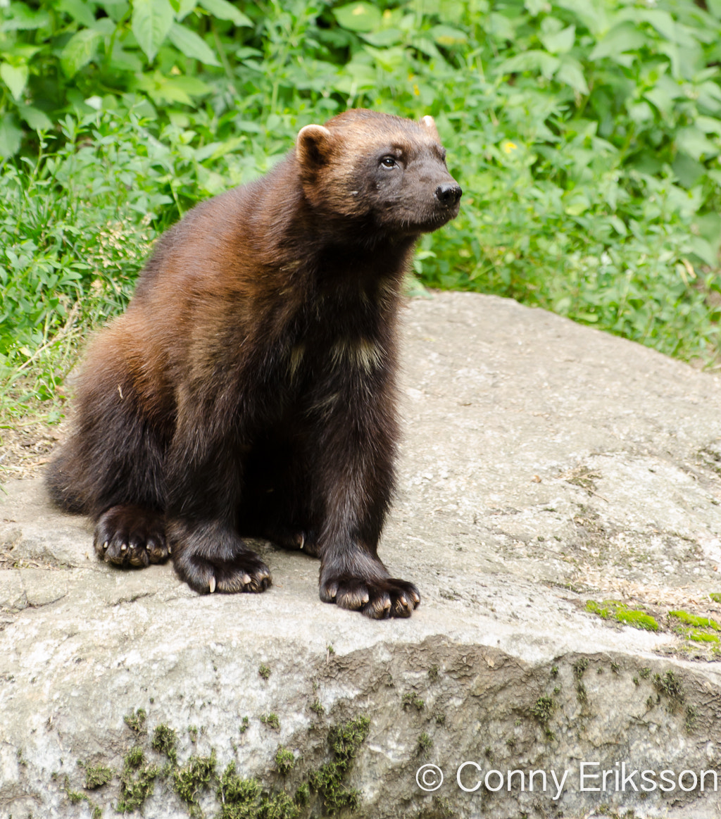 Photograph Curious wolverine by Conny Eriksson on 500px
