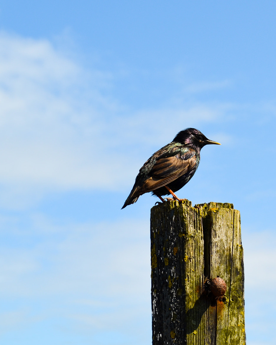 Photograph Starling by Steve Henry on 500px