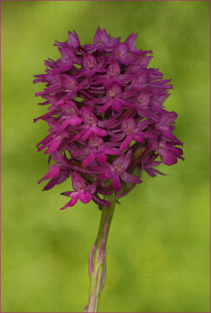Photograph orchid-1 by colin beeley on 500px