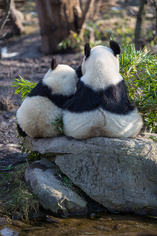 Photograph Pandas in love by  Hermann on 500px