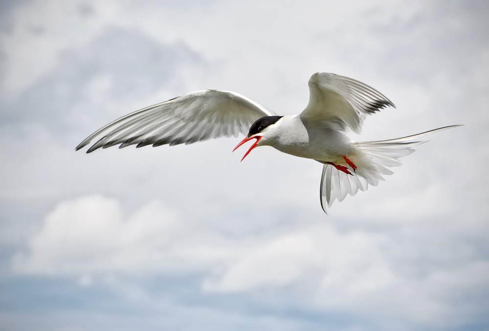 Photograph Arctic Tern by Phil  Morgan on 500px