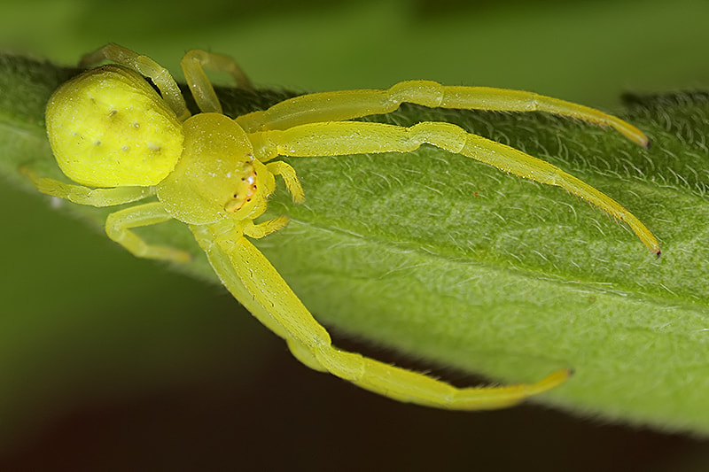 Photograph Crab spider by Paulo Torck on 500px