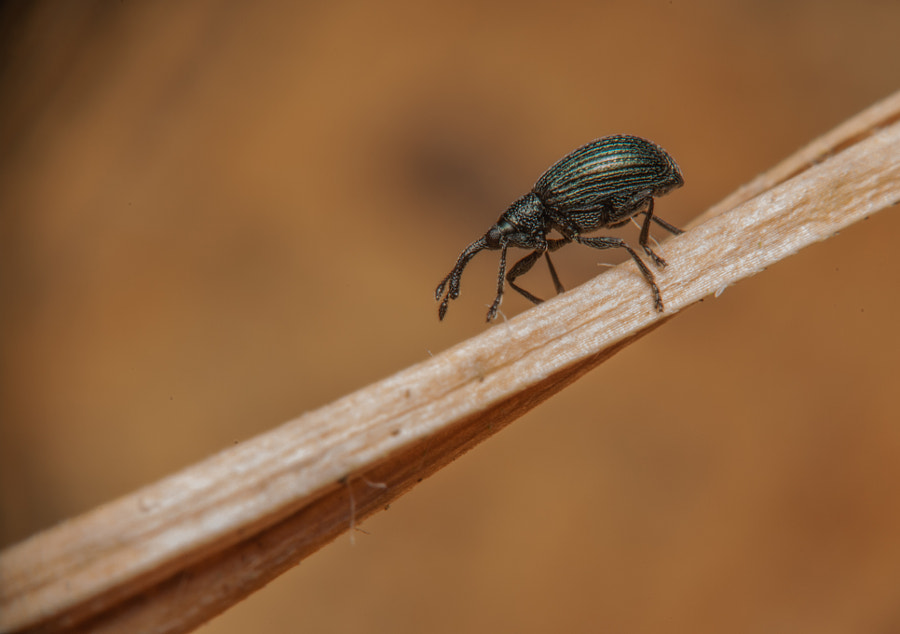 Photograph Weevil by Charlotte Fabian on 500px