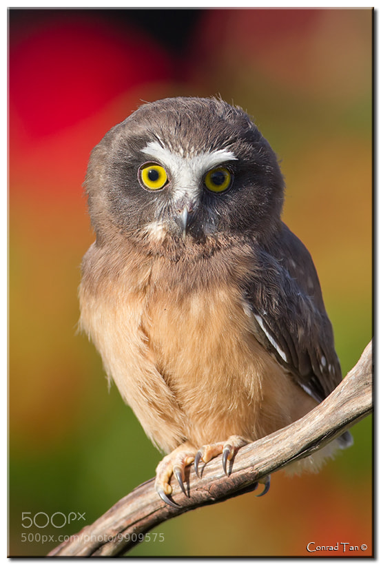 Photograph Saw Whet Owlet by Conrad Tan on 500px